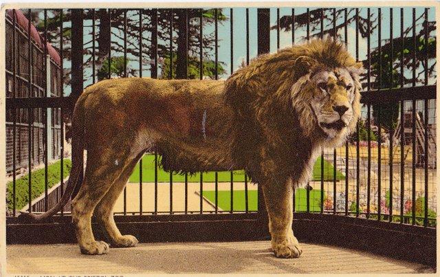 Lion at Bristol Zoo vintage postcard